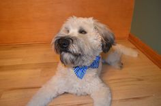 Our soft coated wheaten terrier, Jake!