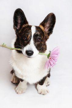 Cardigan Welsh Pembroke Corgie Dogs Puppy