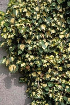 Hedera Helix 'gold heart' ivy