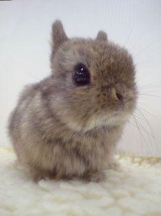 The teeniest bunny. And sooo FLUFFY! rabbit, big eyes, pet, baby bunnies, ador, baby animals, animal babies, easter bunny, puppy eyes