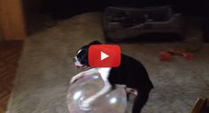 This Funny Boston Terrier Prefers Playing with his Giant Ball in Reverse! Watch! ► http://www.bterrier.com/?p=26389