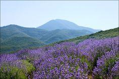 Oregon, but esp these lavender fields & festivals...