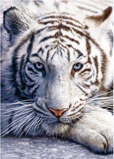 turquoise eyes on white tiger
