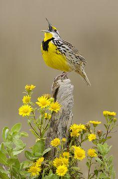 Meadowlark the lord, song, singing, color, little birds, yellow, garden, flower, meadowlark