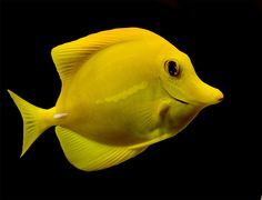 yellow tang, via Flickr.