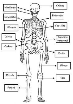 Imatges del cos humà. molt bo.