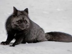 The Silver Fox is a melanistic form of red fox. Melanism is an undue development of dark-colored pigment in the skin, and is the opposite of albinism. Silver foxes display a great deal of pelt variation: some are completely black, save for the white tail tip, while others may be bluish-grey.
