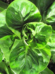 growing lettuce 101