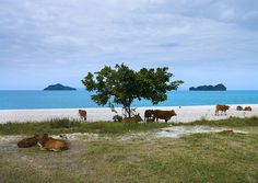 Cows on a Beach | Langkawi, Malaysia