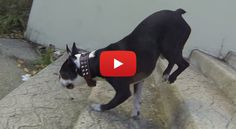 Watch this Boston Terrier's New Trick to Walk Handstand Down the Steps!! ► http://www.bterrier.com/?p=26287