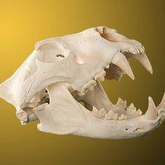 Polished skull