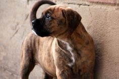 Redbone Coonhound Boxer Mix Golden retriever / boxer mix