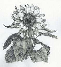 sunflower drawing - Google Search