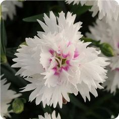 A white dianthus of the EverLast pink series,  available in five, beautiful, long-blooming, double-blooming colors.