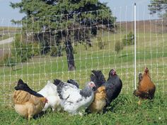 Electric fence.  Keeps Chicks in, predators out!