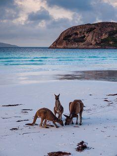 Kangaroos on the bea