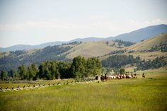 Fall cattle drives in Montana!