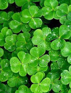 shamrock, clovers, color, four leaf clover, leav, st patricks day, irish, garden, green clover