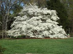 100 year old dogwood tree