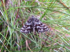 Thank you to Carl Hawke for this picture of a Latticed Heath Moth.  This was spotted whilst Carl was out in the High Peak area on 13 June 2014.