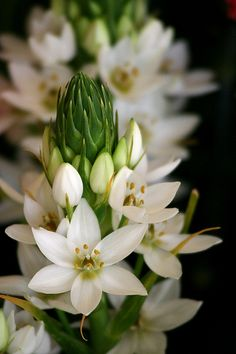 Chinkerinchee (Ornithogalum thyrsoides) - from a flower arrangement at Hotel Porto Santa Maria, Funchal, Madeira Island. #madeira #secretmadeira (author photo click on image)
