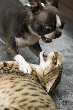 Boston Terrier Attack!