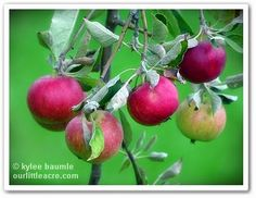"""Our Little Acre: """"Let's Drink to Apples!"""""""