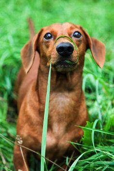 it's got me!  #doxie #cute #dachshund