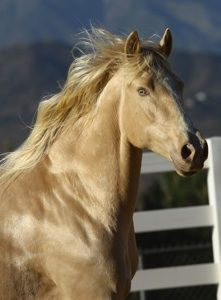 "Guindaleza, a/k/a ""Blondie,"" 16h Iberian horse b. 2003. Blondie, a Palomino Pearl, belongs to a very small group of Iberian horses that test as a single dilute (in this case Palomino) but appear to be double dilute, with bright blue/green eyes.   Guindaleza was the very first Andalusian horse tested by UC Davis for the Pearl gene.  She has the iridescent sheen often seen in Pearl horses."
