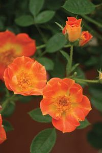 """Rosa Oso Easy Paprika Shrubs. Garden Crossings Online Garden Center. Common Name: """"Rose"""" OSO EASY™ Paprika Rosa is a vastly improved variety, disease resistant, glossy green foliage, 2 inch flowers open reddish-orange and mature to coral-salmon with a bright sunny yellow center. Deer resistant, blooms from early summer until frost, an impressive low growing hedge! A Proven Winners® ColorChoice® Flowering Shrub.Flower Color: Red Orange Height: 1-2 Feet     Spread: 3-4 Feet  Hardiness Zone: 3-9"""