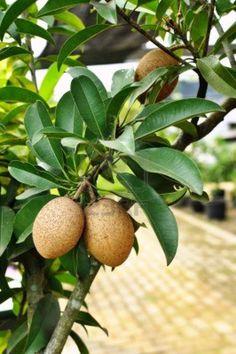 Sapodilla tree (buah ciku)