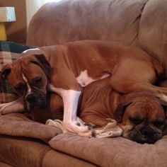 BOXERS LOVE TO SLEEP IN A PILE.....They really don't care of it is a pile of dogs, or grown up humans, or little children humans, or cats or dirty clothes...they love to sleep on top of something.  Sleeping with boxers can be nice in the winter.  With all that muscle they do create a lot of body heat.  SH