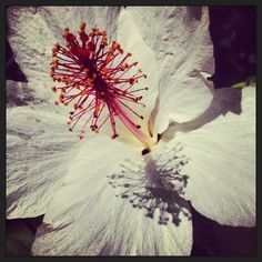 White hibiscus #hawaii #flower