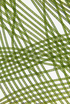 Spirogyra algae (25X)