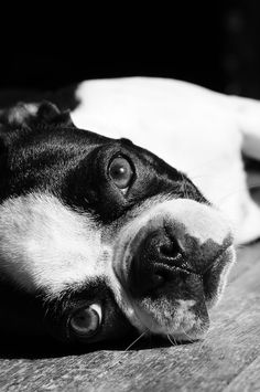 Beautiful Boston #dogs #animal #boston #terrier
