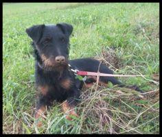 ICARE a été abandonné car c'est un chien très nerveux et qui a besoin d'éducation et son propriétaire était dépassé. Ta patte sur mon coeur(Ardennes)