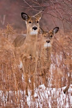 White Tail Deers in snow