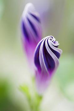 Purple Morning Glory Spirals