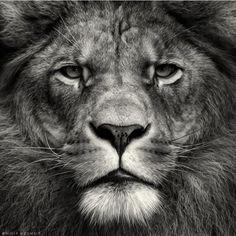 lion, big cats, photograph, black white, jungl