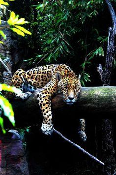 lounging wild cat