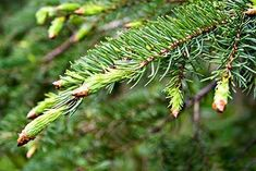 how to havest spruce tips and recipes to use them in.