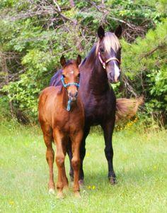 Rocky Mountain Horses Romance Valley Farm Home of Rocky Mountain Horses