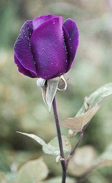 royal rose - beautiful !!
