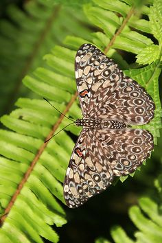 Februa Cracker butterfly (Hamadryas februa)