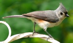 How to Build a Tufted Titmouse Nestbox in 6 Steps