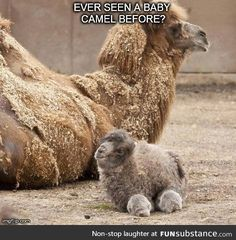 Haha it looks like a rabbit with wheels stuff, funny rabbit, funny looking animals, wheel, camels, ador, baby animals, thing, babi camel