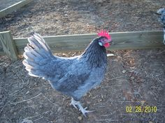 Blue Andalusian Chickens