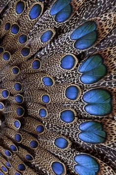 Bornean Peacock Pheasant Feathers