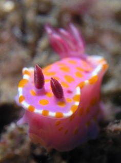 orange spotted nudibranch.