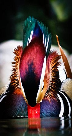Mandarin Duck*
